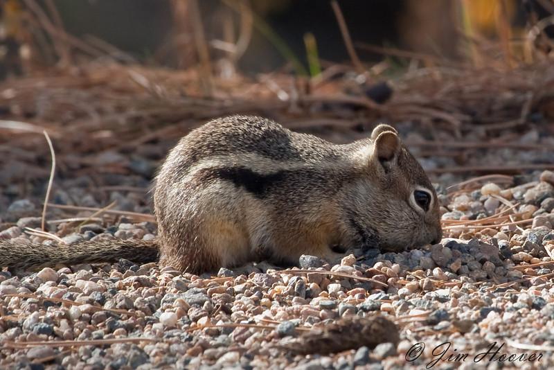 Golden-mantled Ground Squirrel<br /> Rocky Mountain National Park