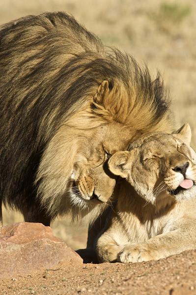 Lions, AfriCat Foundation, Namibia