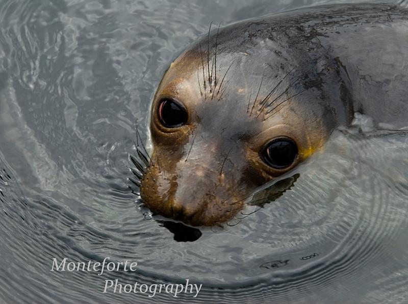 Juvenile Elephant Seal, Mirounga angustirostris, Monterey Bay, Ca
