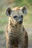 Spotted Hyena Cub, Chobe River, Botswana