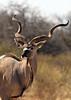 Kudu Bull, Namibia
