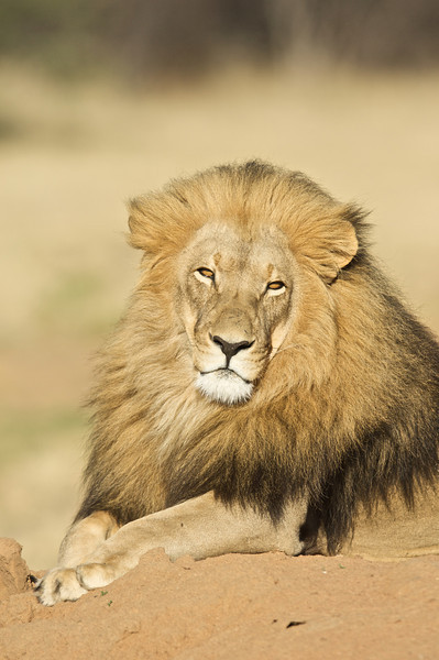 Lion, AfriCat Foundation, Namibia