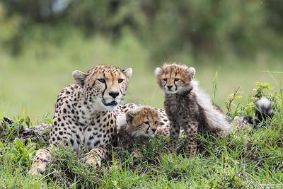 Gepard med två månader gamla ungar