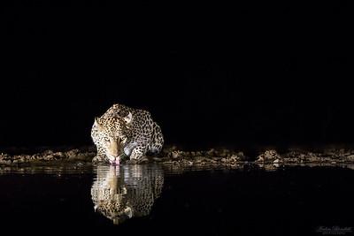 Drickande leopard