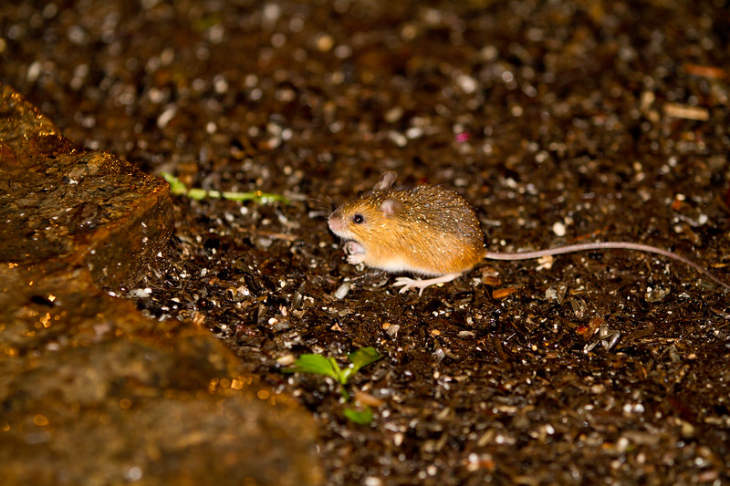 Woodland Jumping Mouse<br /> Woodland Jumping Mouse, Mountain Meadows, Bedford County, PA