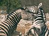 Zebra Dispute 2, Etosha National Park, Namibia