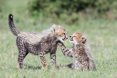 Gepardungar