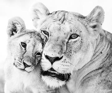 Lejonmamma med unge
