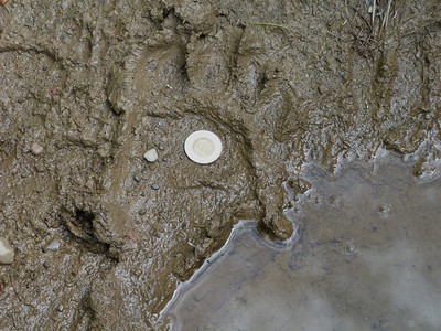 Black Bear print, note mid-size Deer print upper right for additional comparison.