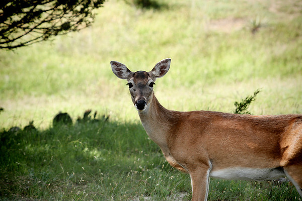 A female white-tailed deer (a.k.a. whitetail deer; Odocoileus virginianus) standing in the shade of a tree (2009_05_22_020068)