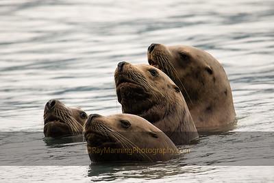 Sea Lion Huddle