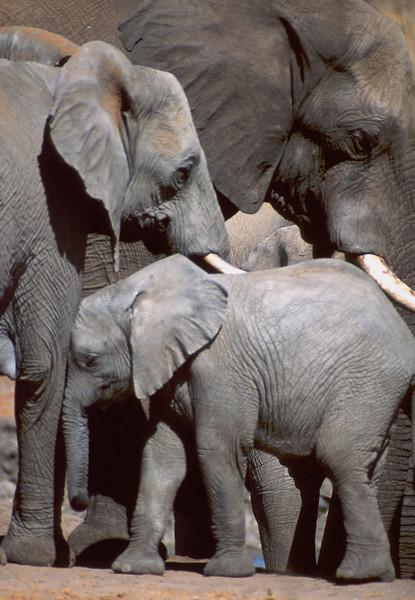 Elephants, Etosha National Park, Namibia