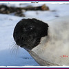 Harp Seal - January 15, 2011 - East Chezzetcook, NS