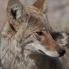 Death Valley Coyote