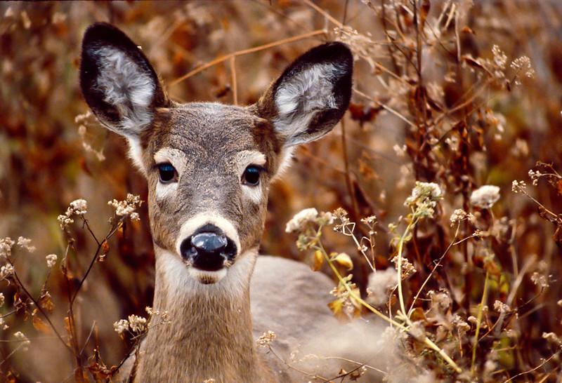 Button Buck<br /> White-tailed Deer Button Buck Muddy Run Park Lancaster Co. PA