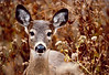 Button Buck<br /> White-tailed Deer Button Buck Muddy Run Park Lancaster Co. PA