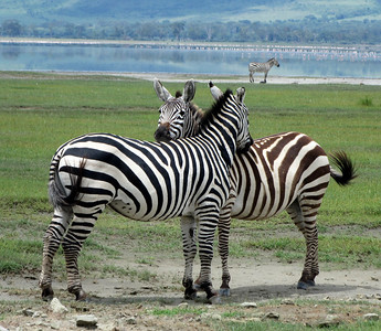 Zebras watching out for, and fly-swatting, each other. Left is male, right is female