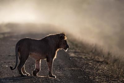 Lejon i motljus