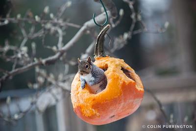 Eastern gray squirrel (Sciurus carolinensis) inside a pumpkin