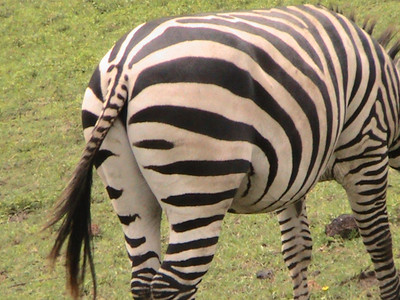 south end of a zebra!