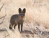 Bat-eared Fox, Namibia