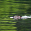 Beaver - Crow Lake area - Ontario,Canada