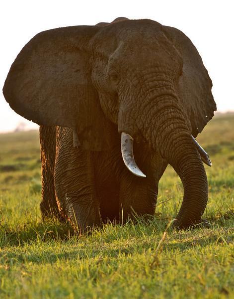 Bull Elephant, Chobe River, Botswana