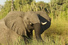 Elephant, Mahango Game Reserve, Botswana