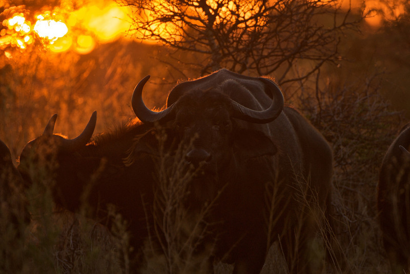 Cape Buffalo at Sunset, Okavango River Delta, Botswana