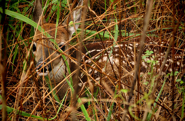 A white-tailed fawn (Odocoileus virginianus) hiding in tall grass (20140623_11382)
