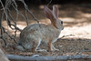 Desert Cottontail<br /> Salton Sea<br /> CA