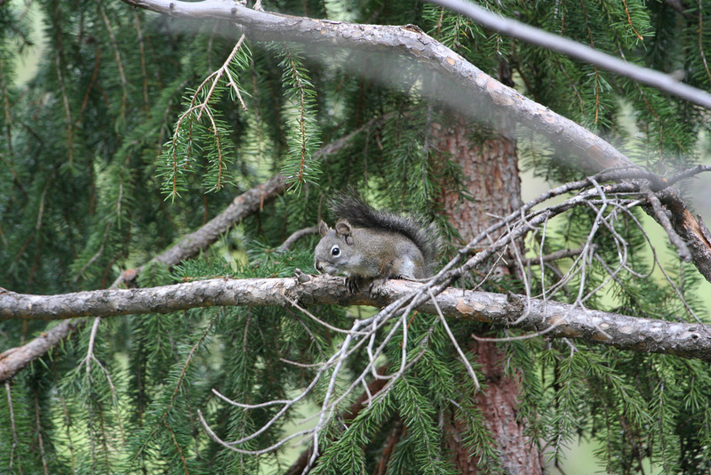 Douglas' Squirrel at Genesee Mtn Park, CO