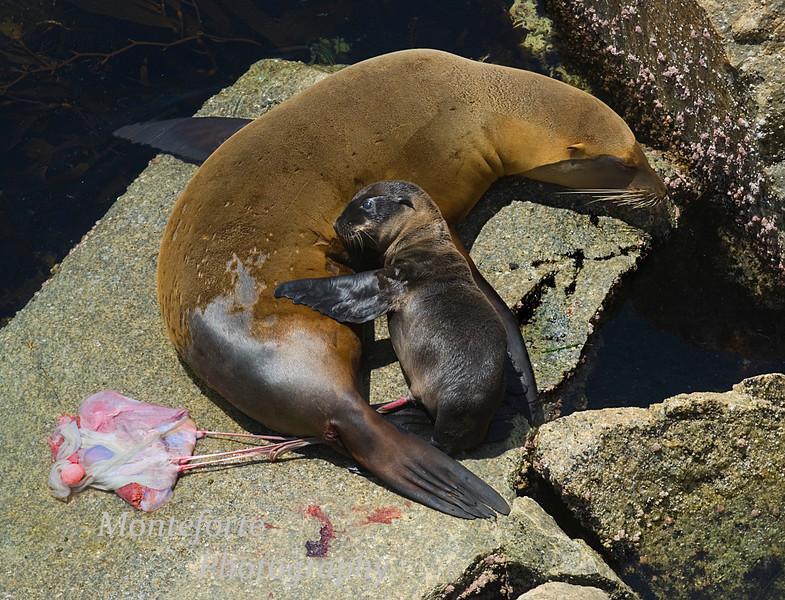 Sea Lion birth Zalopus californianus