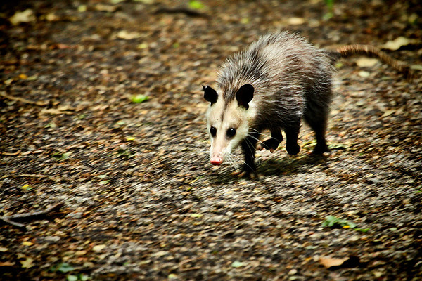 A Virginia opossum (a.k.a. possum or tlacuache; Didelphis virginiana) trotting through a clearing (2009_04_19_016210)
