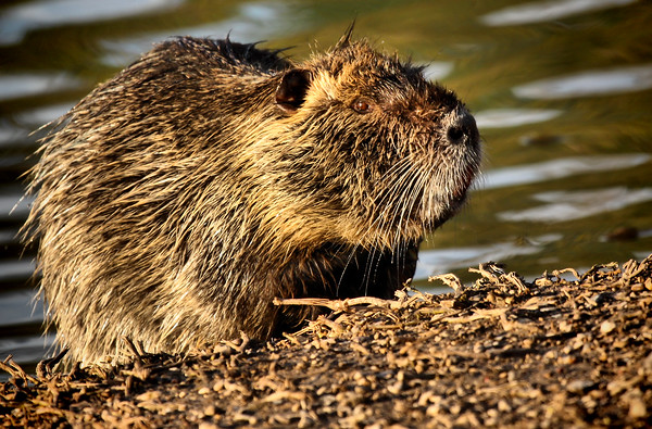 A nutria (a.k.a. coypu; Myocaster coypus) standing on the shore of White Rock Lake (2009_04_10_014804)