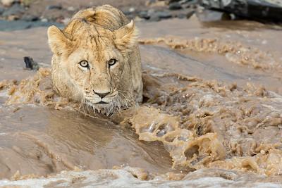 Lejon, unge i vatten
