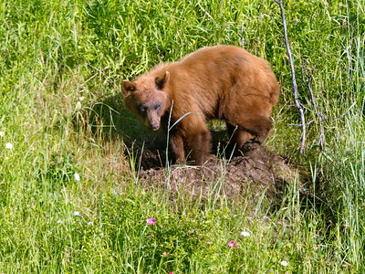 Young black bear foraging near Waterton Lakes. Yes, it's a black bear though appears brown at this age I'm told.