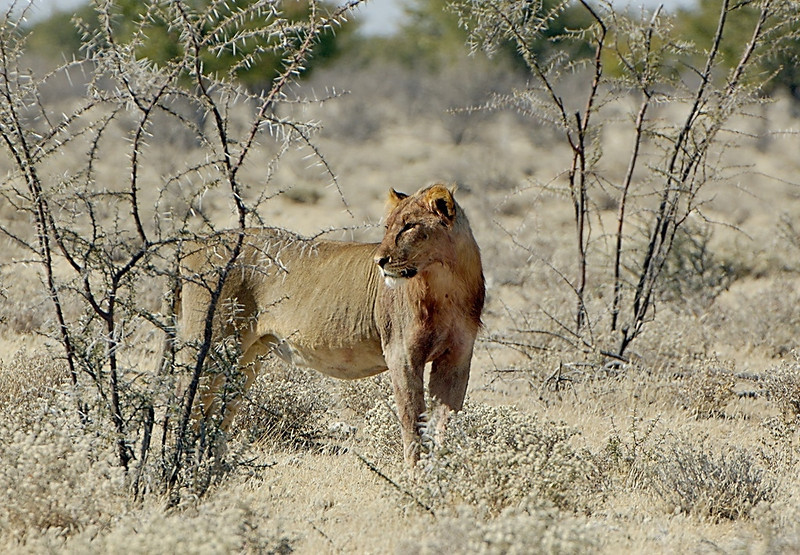 Young Male Lion, Namibia