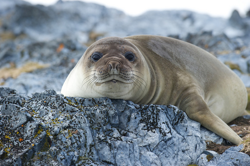 Weddell Seal, near Palmer Station, Antarctica