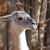 Llama at Santa Ana Zoo - 10 Jan 2010