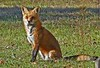 Red Fox, Eakin Park, Va, 1-1-08