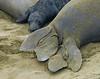 Elephant Seal, Mirounga angustirostris