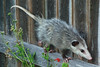Virginia Opossum (Didelphis virginiana). TX: Tarrant Co. (Duhons' Fort Worth yard), 28 August 2008.
