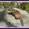 Eastern Chipmunk - May 23, 2009 - Dartmouth, NS