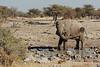 Elephant Cow, Namibia