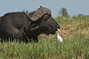 Cape Buffalo and Egret, Chobe River, Botswana