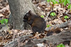 Eastern Gray Squirrel <br /> Frick Park<br /> PA