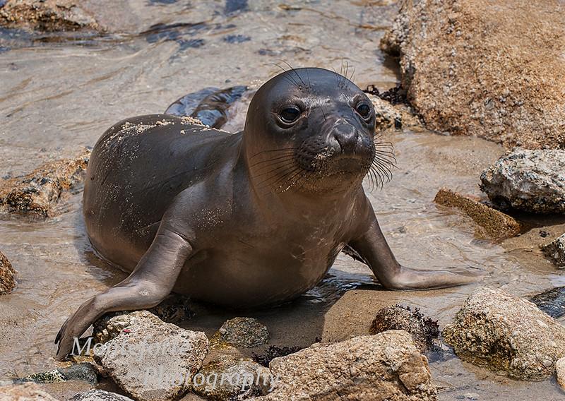 Elephant seal pup, Mirounga angustirostris, on beach inside harbor in Monterey Ca.