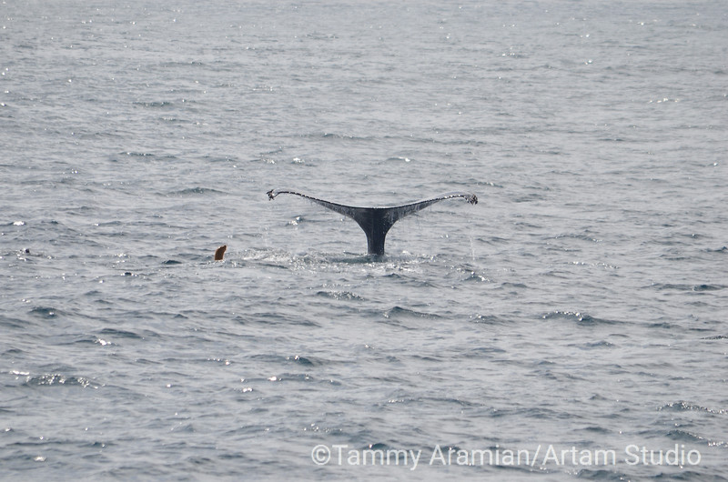 California sea lion observes humpback whale tail fluke, Monterey Bay,  August 2014
