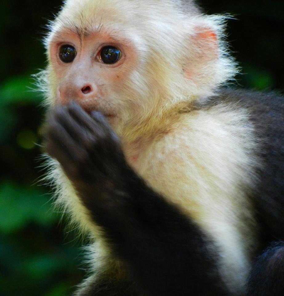 White faced Capuchin monkey Gumbalimba Park. Roatan, Honduras.